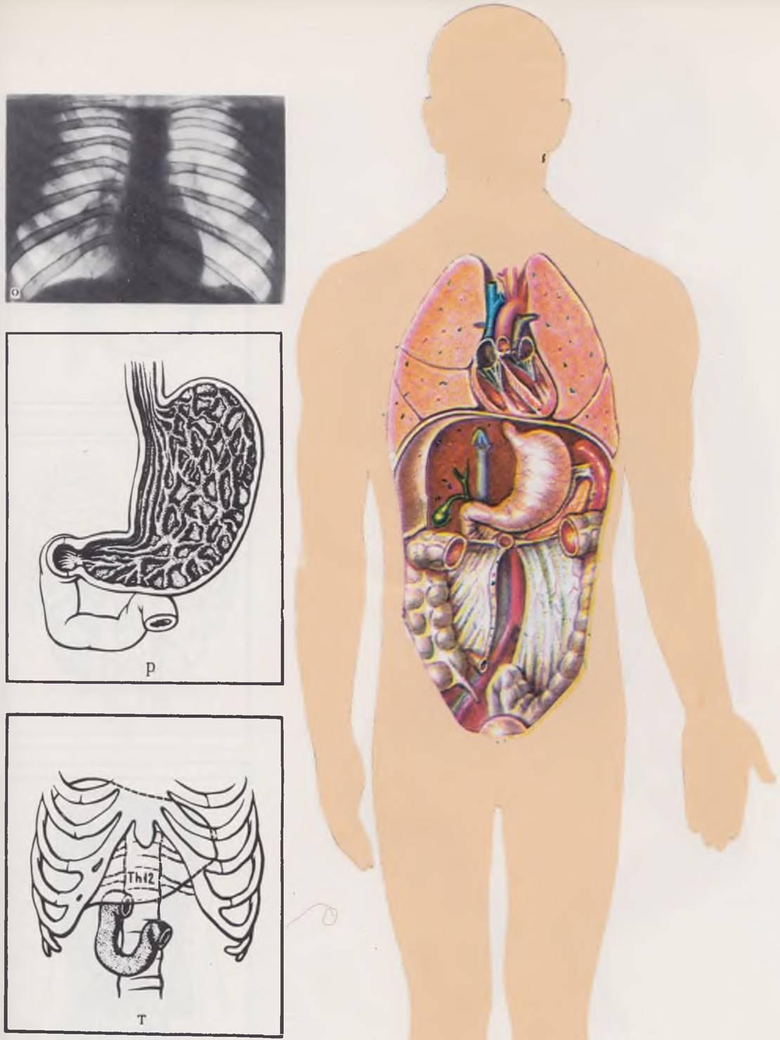 Формирование скелета плода: таблица норм развития, диагностика врожденных заболеваний.
