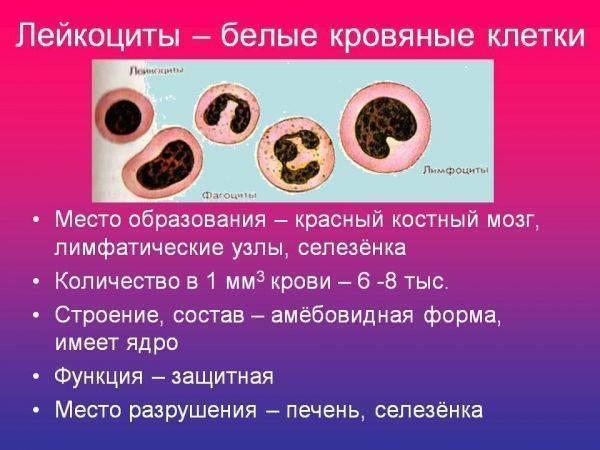 Повышенные лейкоциты в крови у ребенка