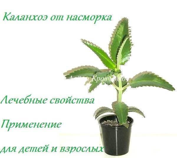 Каланхоэ от насморка детям: можно ли применять сок растения, с какого возраста допустимо, как капать в нос, в том числе грудничку, и особенности аптечного средства