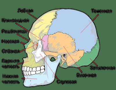 Костная система новорожденных