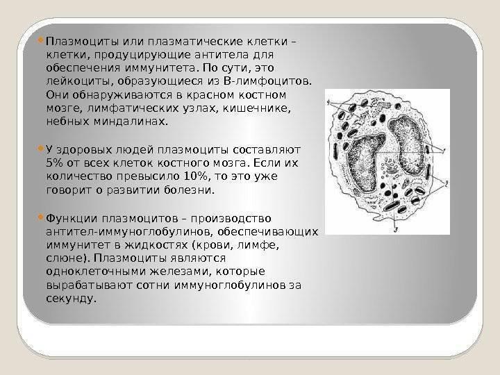 Плазматические клетки в общем анализе крови взрослого человека