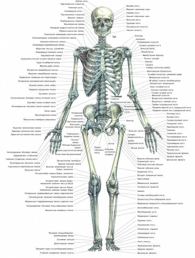 Формирование скелета плода