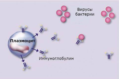 Плазматические клетки в общем анализе крови