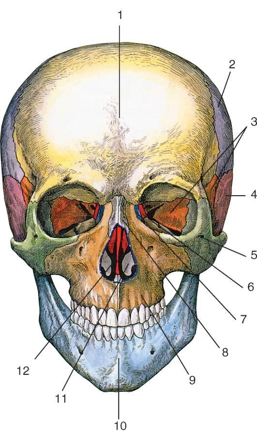 Неровный череп из-за привычного положения шеи
