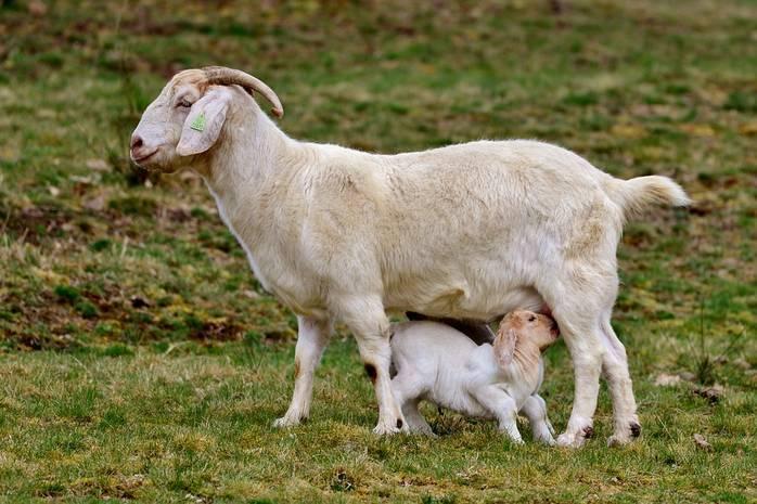 Козье молоко для детей: польза и вред для ребенка до года и старше