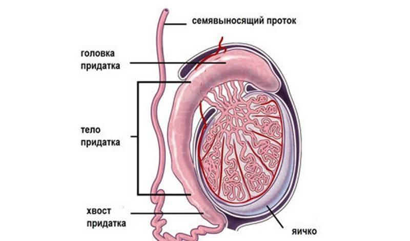 Вдруг увеличилось одно яичко у сына - увеличилось яичко ребенка - запись пользователя мария - детский массаж, baby yoga (desfleur) в сообществе двойняшки в категории здоровье - babyblog.ru