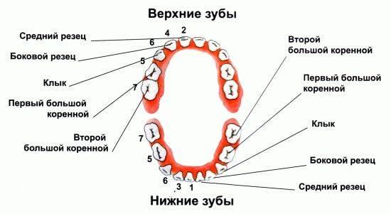 Во сколько месяцев и в каком порядке режутся первые зубки и как помочь малышу?
