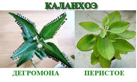 Каланхоэ от насморка ребенку: инструкция и пропорции / mama66.ru